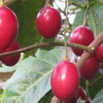 tree tomato