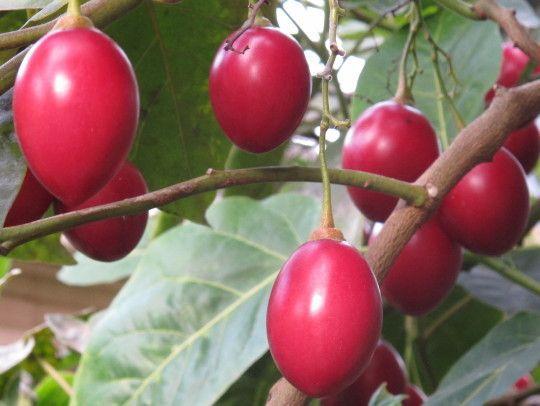 Money grows on Tree tomato fruit farming