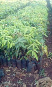certified fruit seedlings