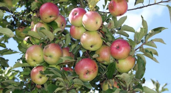 well developed apple fruits