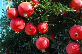 Pomegranate fruit farming