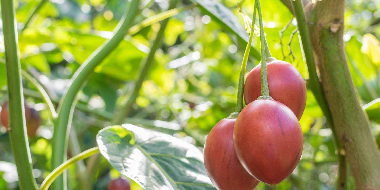 What To Do To Tree-tomatoes Affected By Nematodes