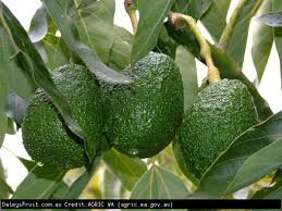 <span>HASS AVOCADO</span>