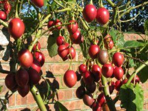 <span>Grafted Tree tomato</span>