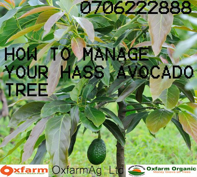 Hass avocado farming
