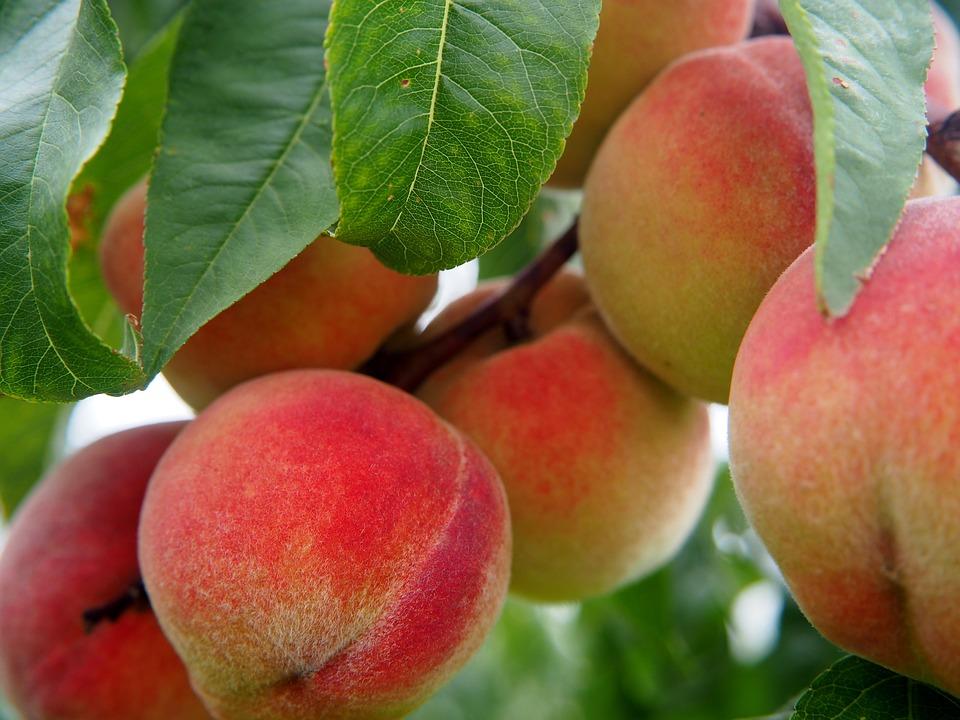 Peaches farming